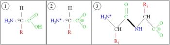 Amino acids 1