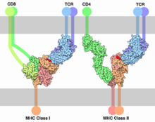 TCR-MHC bindings