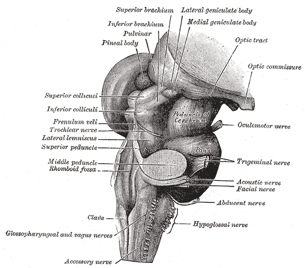 Posterolateral Sulcus Of Medulla Oblongata Psychology Wiki