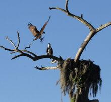 Osprey landing in the nest at Camp Echockotee