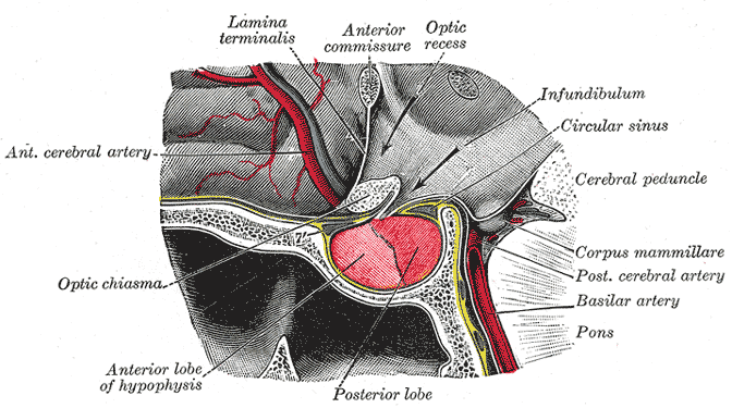Pituitary gland | Psychology Wiki | FANDOM powered by Wikia