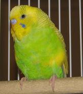 Budgie-parakeet001