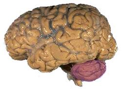 Cerebellum NIH