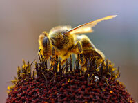 Bees Collecting Pollen 2004-08-14