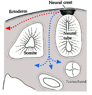 Neuralcrestroute