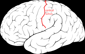 Central sulcus | Psychology Wiki | FANDOM powered by Wikia