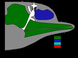 Dolphin head sound production