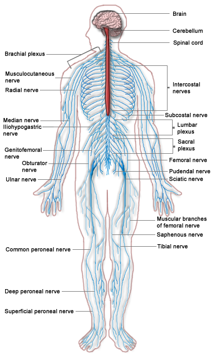 Image nervous system diagramg psychology wiki fandom nervous system diagramg ccuart Choice Image
