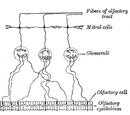 Olfactory receptor neurons