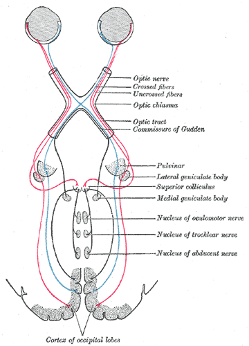 Superior colliculus | Psychology Wiki | FANDOM powered by Wikia