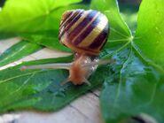 Snail WA
