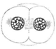 Telophase