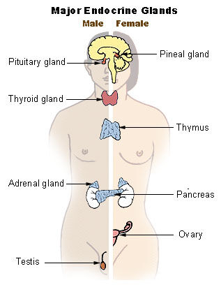 Thyroid Gland Psychology Wiki Fandom