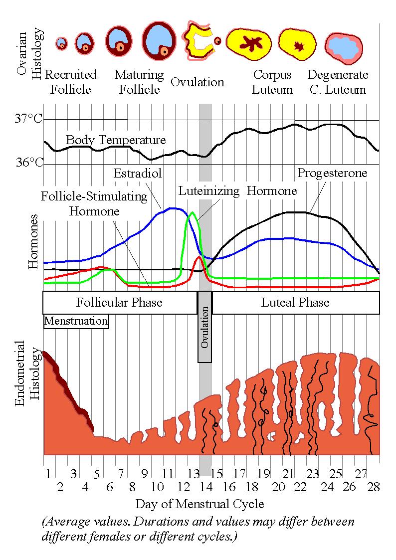 Anovulatory cycle