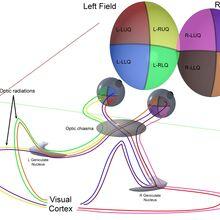 nucleus geniculatum laterale