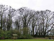 Crows.nests.arp.750pix