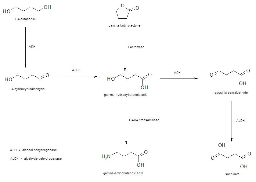 GHB metab path