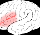 Triangular part of inferior frontal gyrus