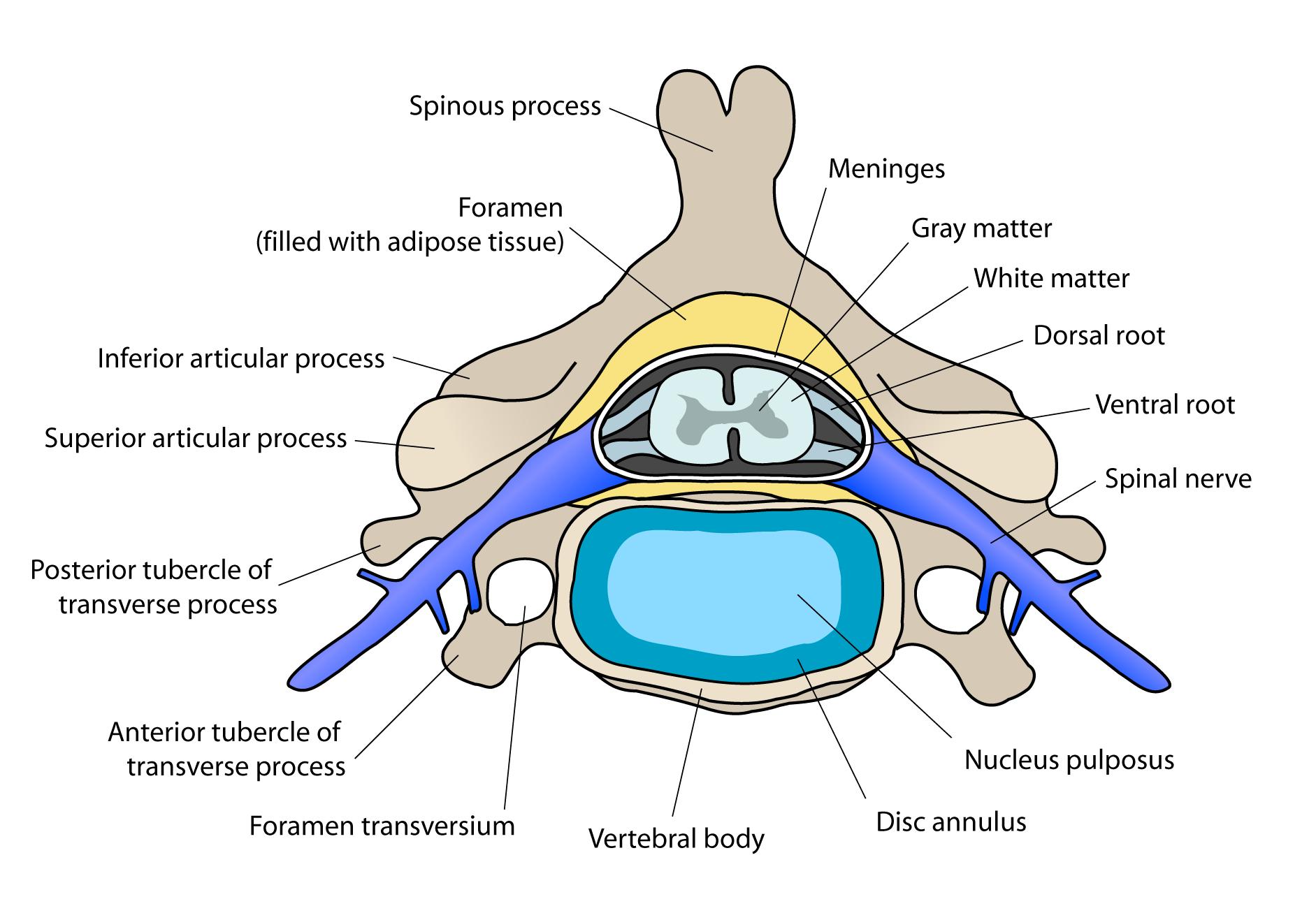 Image cervical vertebra englishg psychology wiki fandom cervical vertebra englishg ccuart Choice Image