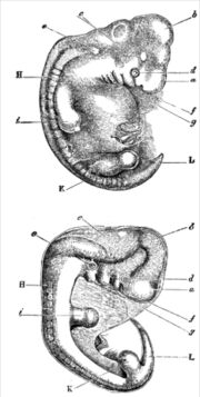 Darwin Descent - embryology