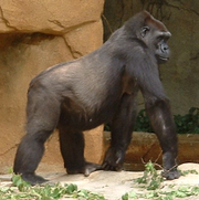Gorilla-kiktajm
