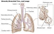 Illu bronchi lungs