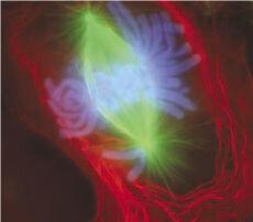 Mitosis-flourescent