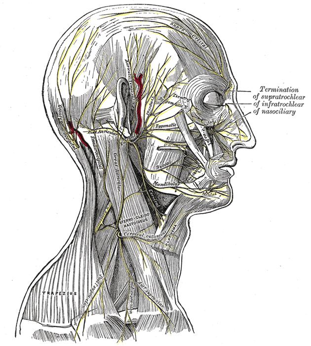 Transverse cervical nerve | Psychology Wiki | FANDOM powered by Wikia