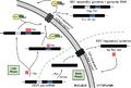Rev-mediated HIV mRNA transport.png