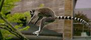 Katta (Lemur catta) jumping