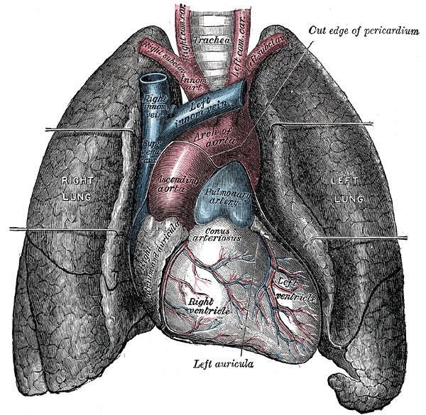 Anatomy psychology wiki fandom powered by wikia human heart and lungs from an older edition of grays anatomy ccuart Gallery