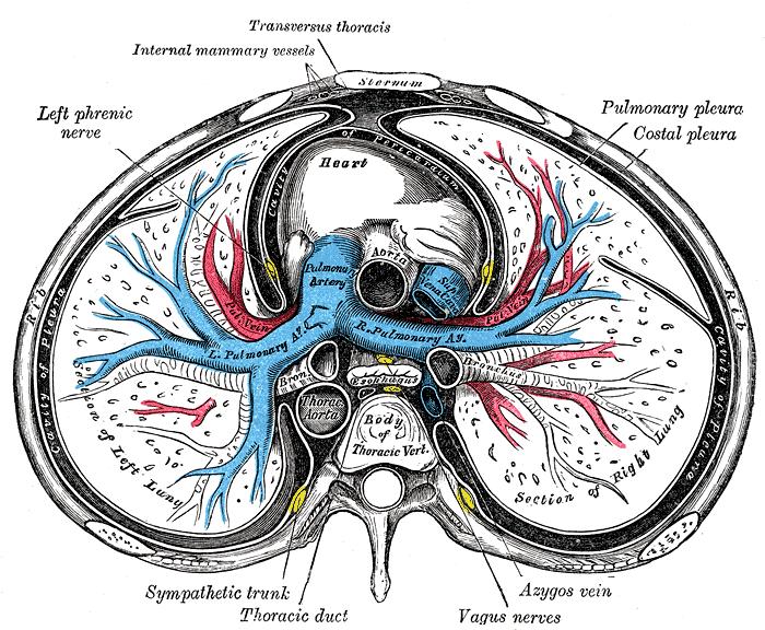 Pulmonary artery   Psychology Wiki   FANDOM powered by Wikia