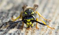 Wasp gathering wood