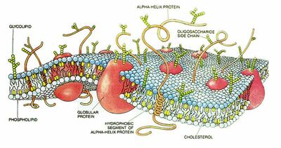 CellMembraneDrawing