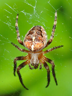 Araneus diadematus (aka)