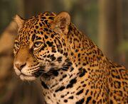 Jaguar head shot