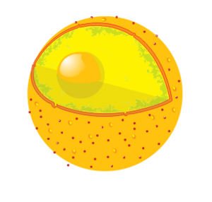 Diagram human cell nucleus no text