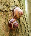 Cepaea nemoralis pair banded shells.jpg