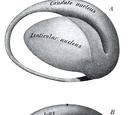 Lentiform nucleus