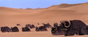 Bantha herd