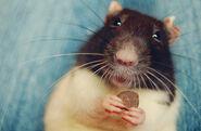 Cutest-Rats-45