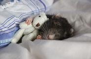 Cutest-Rats