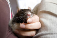 Cutest-Rats-28