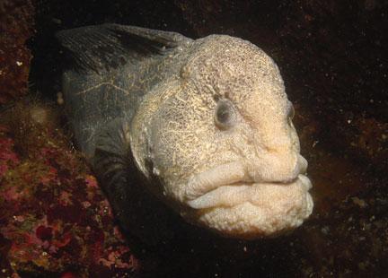File:Wolf-eel.jpg