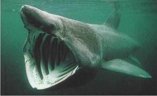 File:Basking shark AJ.jpg