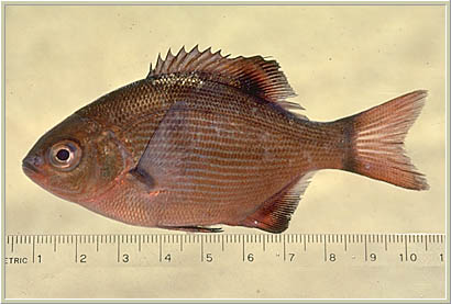 Striped surfperch001