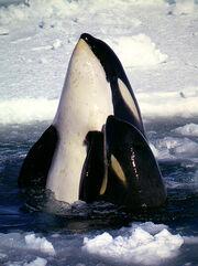 Type C Orcas-1-