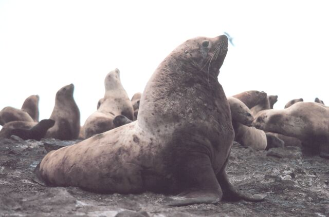 File:Steller sea lion bull-1-.jpg