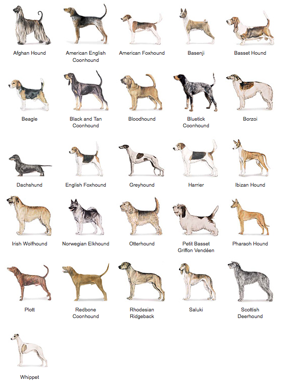 Http Www Akc Org Dog Breeds Groups Hound