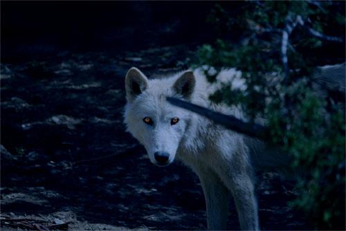 werewolf the pureblood legacies wikia fandom powered by wikia